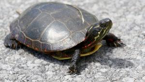 turtle, spirit animals